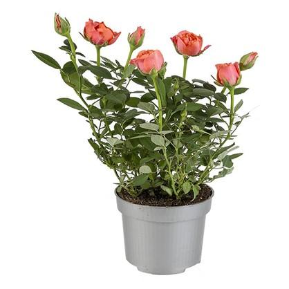 Купить Роза Даника микс 10х30 см дешевле