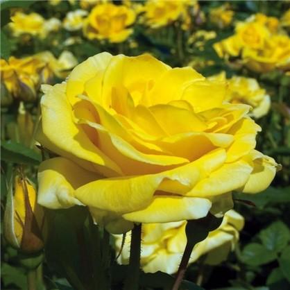 Роза флорибунда Карт Д`Ор