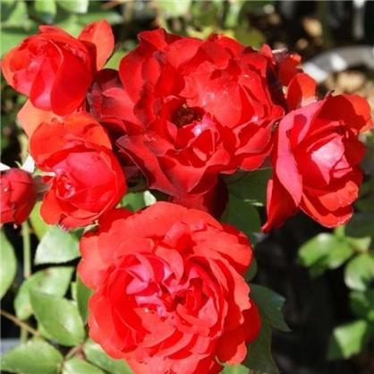 Роза флорибунда Сачмо