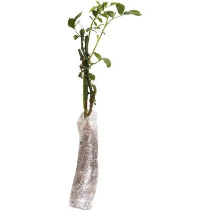 Роза флорибунда Сноуфлейк в тубе