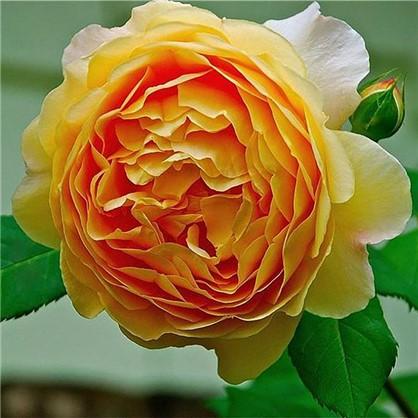 Купить Роза Кордана микс дешевле