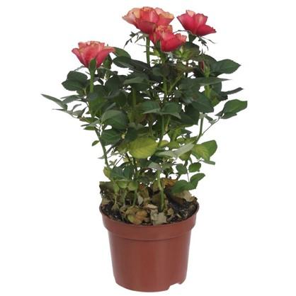 Роза микс промо D12 см H30 см