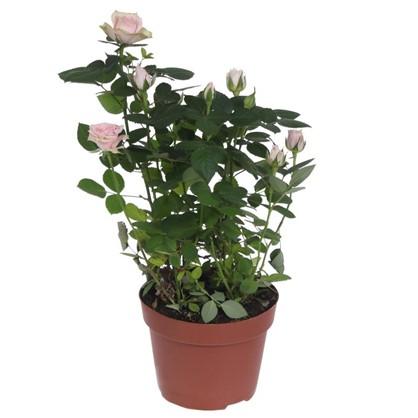Роза микс промо D13 см H35 см