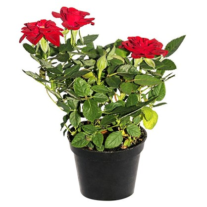 Купить Роза мини микс 6х15 см дешевле