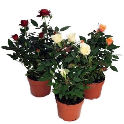 Купить Роза Парад микс 10х27 см дешевле