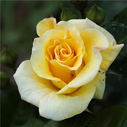 Роза парковая Чайнатаун 3.5 л