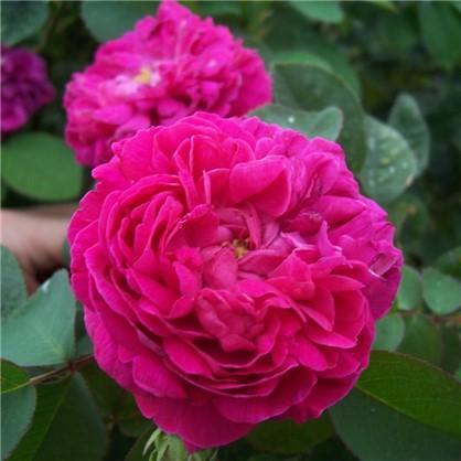 Купить Роза парковая Роуз де Решт дешевле
