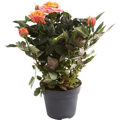 Купить Роза Патио Хит микс 13х35 см дешевле