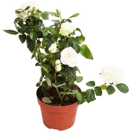 Роза Патио микс 12х35 см