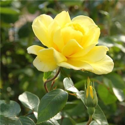 Роза плетистая Голден Шоверс