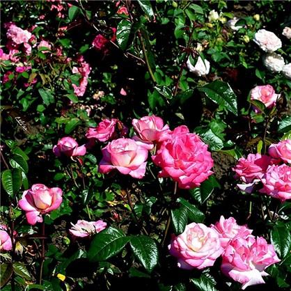 Купить Роза плетистая Хэндель 3.5 л дешевле
