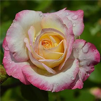 Купить Роза Royal Minueto полиант(тб 9*9) дешевле