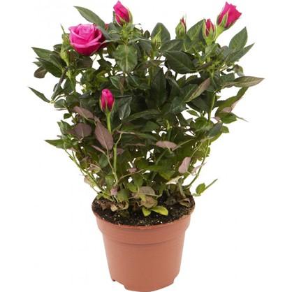 Роза Стар Розес 10х25 см