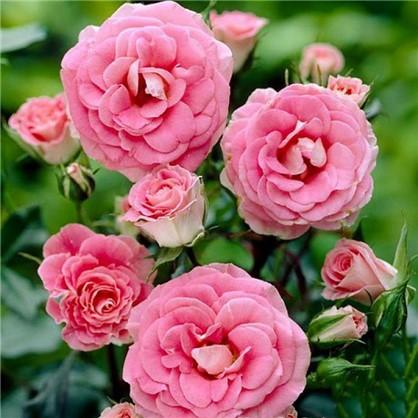 Роза Tom полиантовая  (тб 9*9)