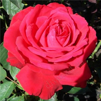 Розы чайно-гибридные Софи Лорен