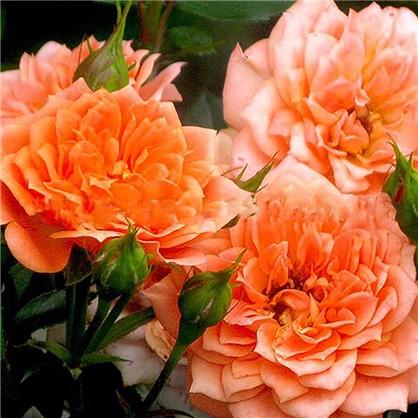 Розы миниатюрные Корсо