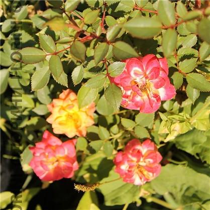 Розы миниатюрные Мандарин
