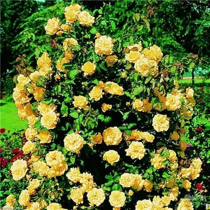 Розы плетистые Голден Элеганс