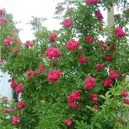Розы плетистые Грусс энд Холстайн