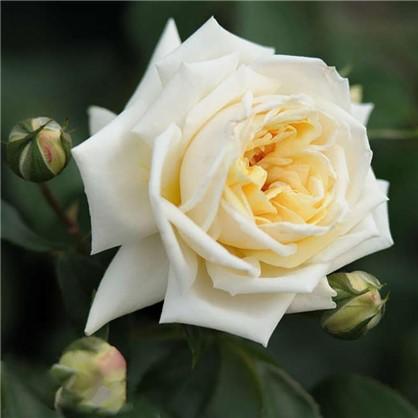 Купить Розы плетистые Илзе Крон Супериор дешевле