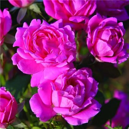 Розы плетистые Клайминг Критерион