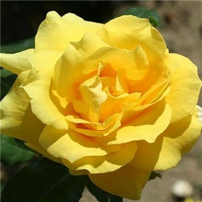 Розы плетистые Клайминг Санблест