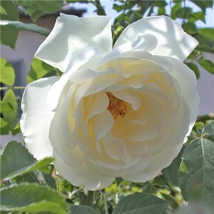 Розы плетистые Клайминг Шнеевиттхен