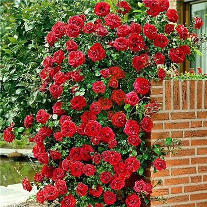 Купить Розы плетистые Сантана дешевле