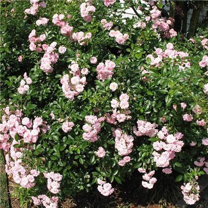 Купить Розы почвопокровные Фэйри дешевле