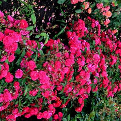 Купить Розы почвопокровные Фэйри Данс дешевле