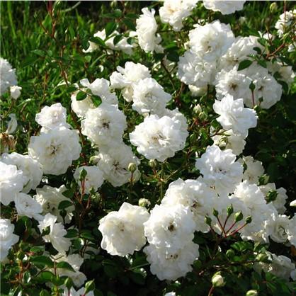 Розы почвопокровные Сиа Фом