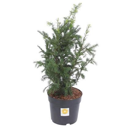 Тисс ягодный Бакката Репанденс d25/40-50