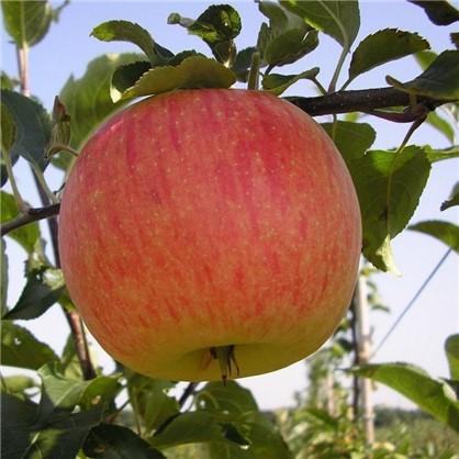 Яблоня  Мельба 1-2 года (пакет)